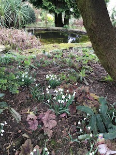 Snowdrops in the gardens of Offcote  Grange, open
